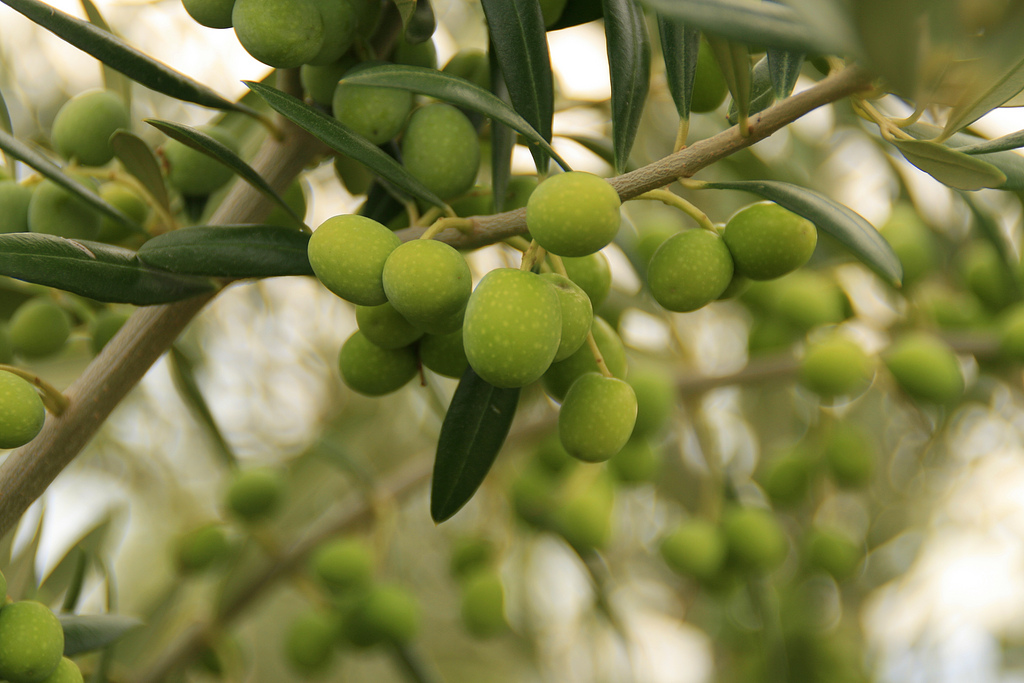 Aceitunas.
